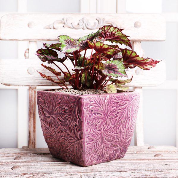 خرید گیاه بگونیا