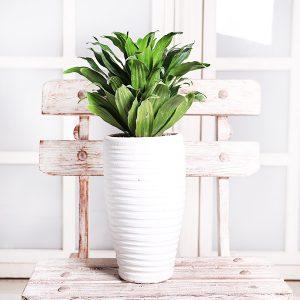 خرید گیاه دراسنا