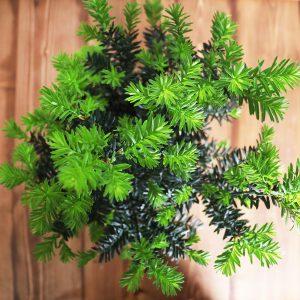 درختچه تاکسوس