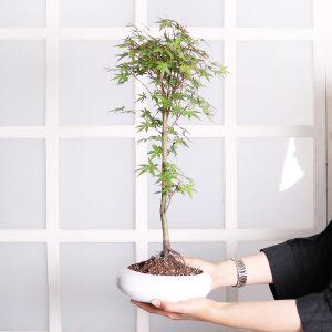 خرید درختچه افرا